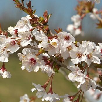 Japanska trešnja KOJOU-NO-MAI