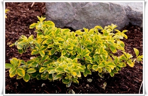 Euonymus Emeral'd Gold 0,5L