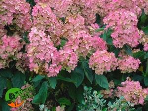 Hydrangea paniculata Pink Diamond 0,5L
