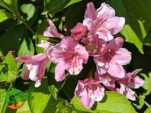 Weigela Florida Pink Princess 0,5L