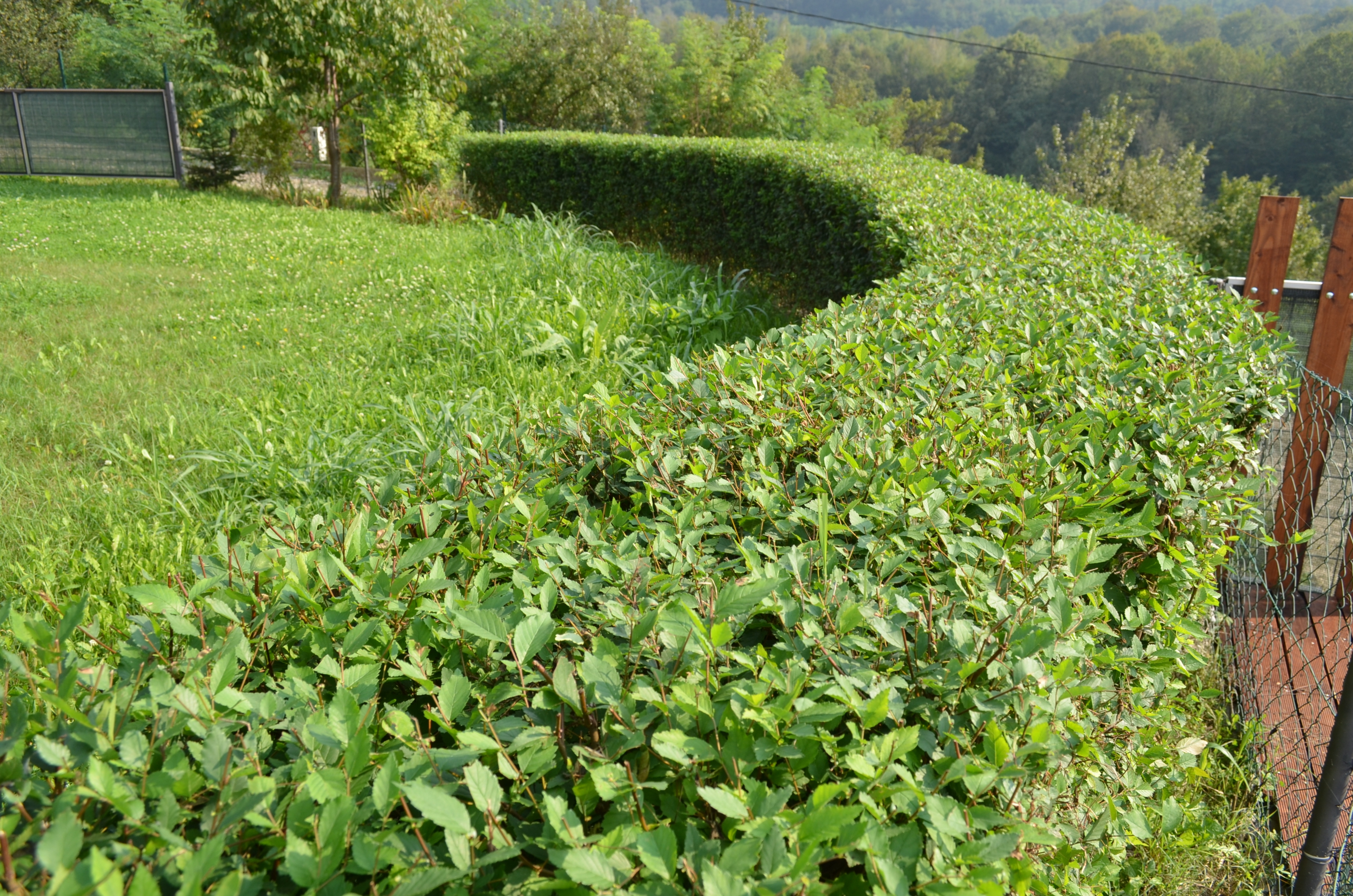 Čarobna živa ograda 60-100cm