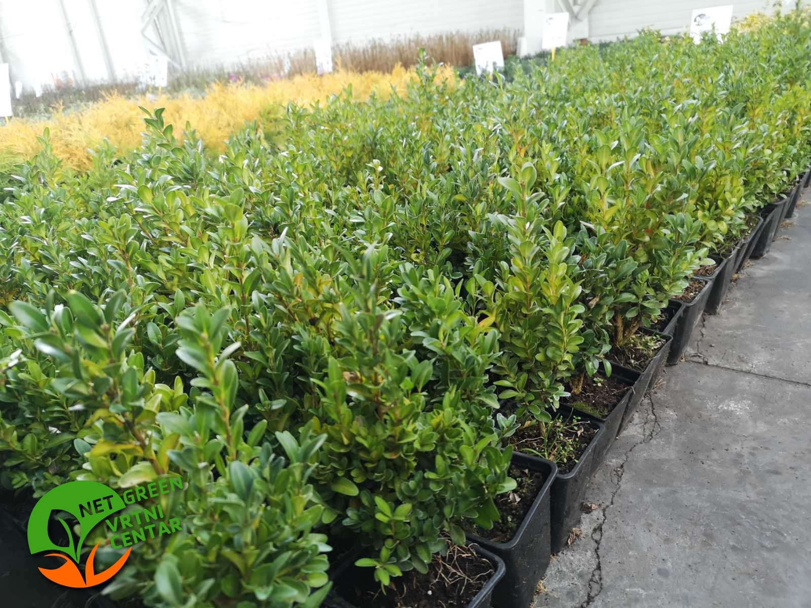 Buxus Sempervirens 0,5L