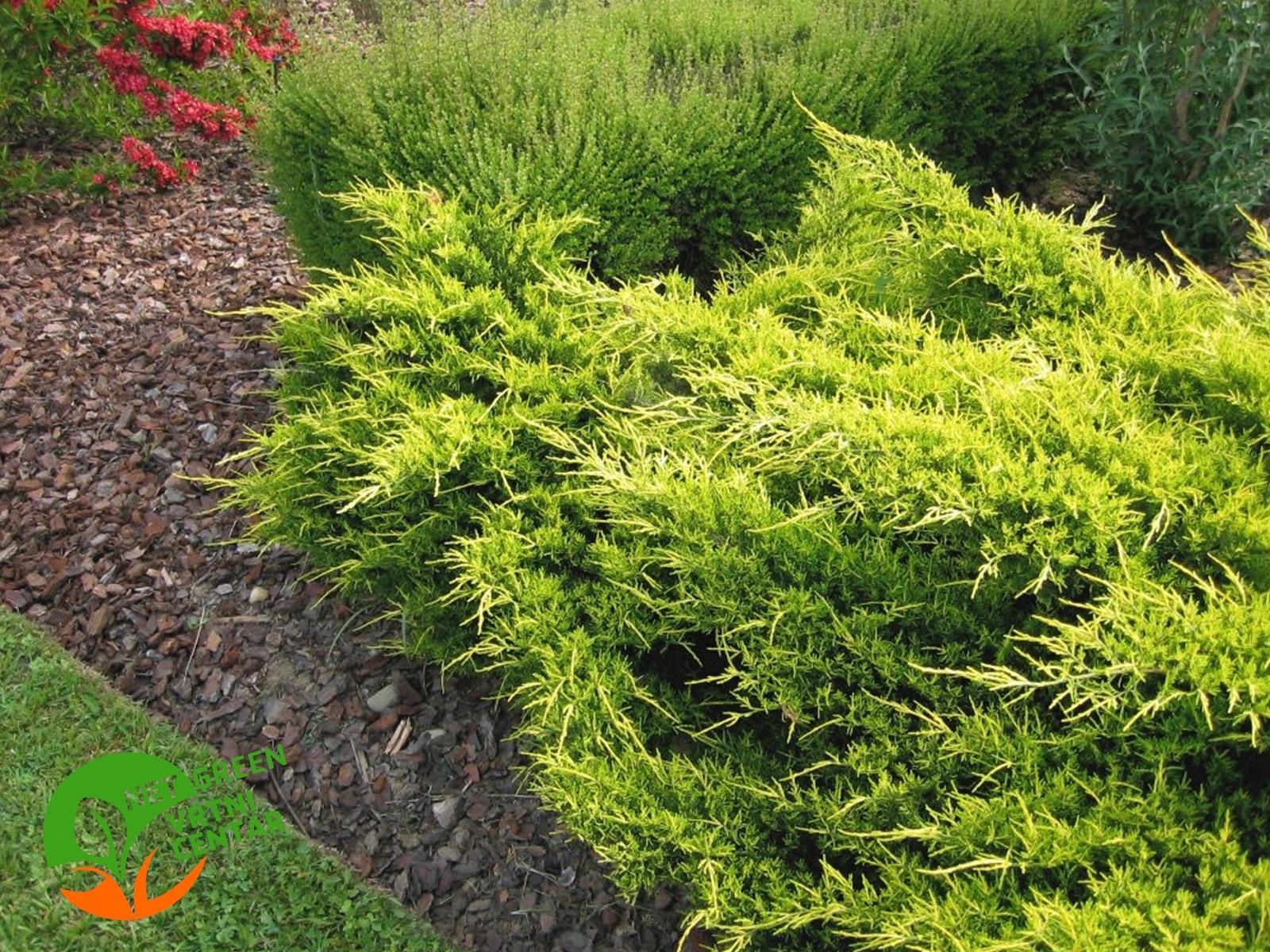 Juniperus pfitzeriana Gold Star 0,5L