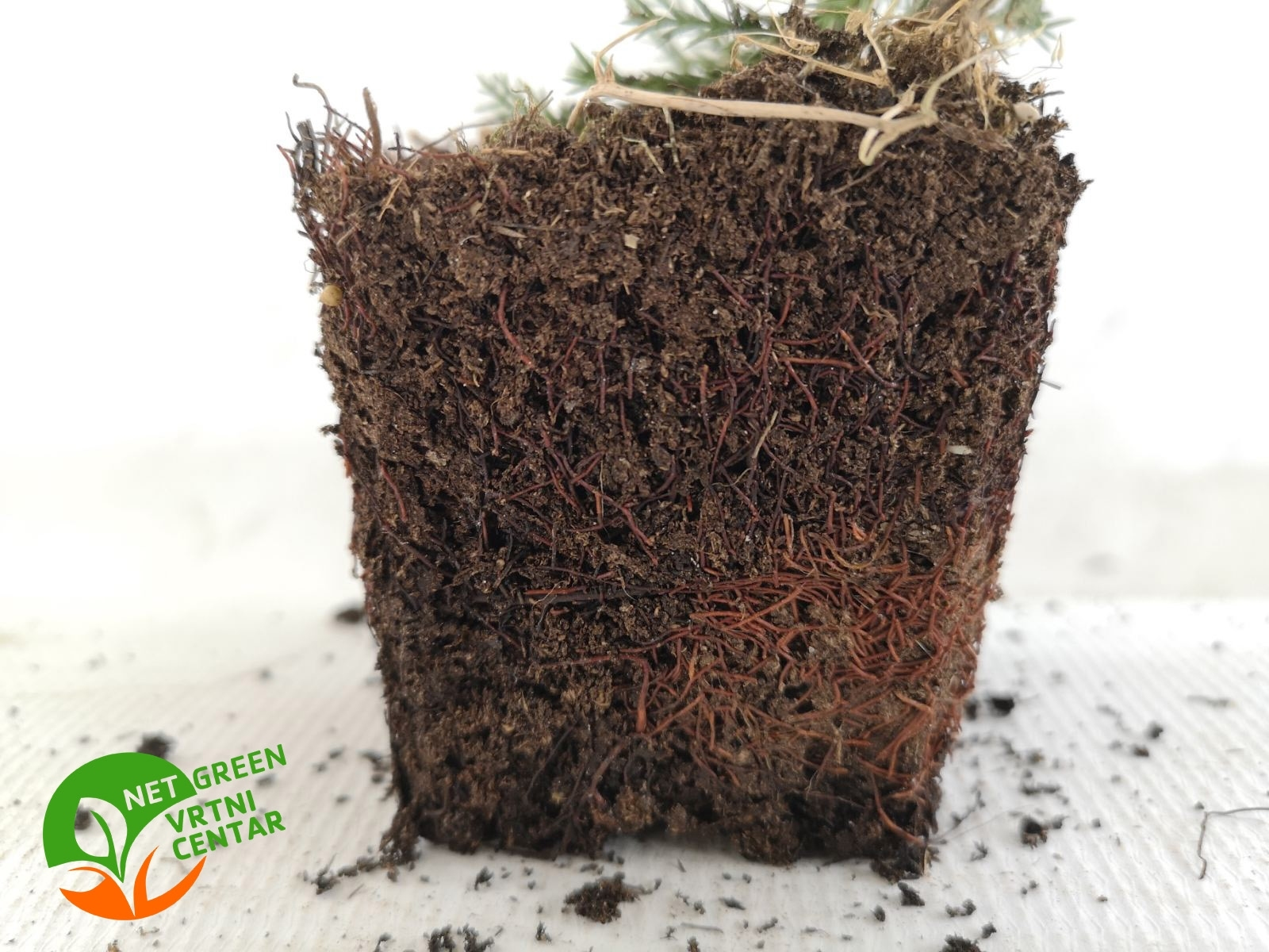Juniperus pfitzeriana Mint Julep 0,5L