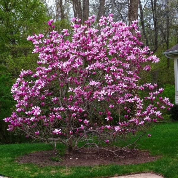 Magnolia Nigra 0,5L
