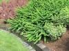 Berberis tunberghii Green Carpet 0,5L
