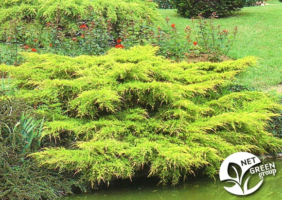 Juniperus - Četinari